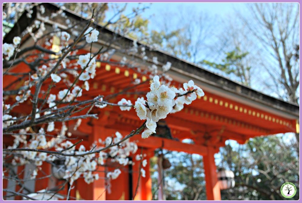Pruniers en fleurs au Kitano Temangu, Kyoto
